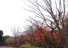紅葉も終わり葉を落とすモミジ林-thumb-392x294-56739