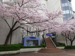 キャトル&桜a