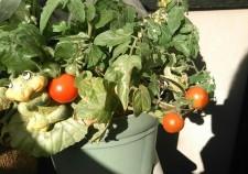 タウンガイド トマト